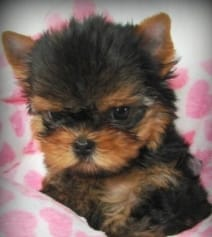 oki-square-chiot-yorkshire-terrier