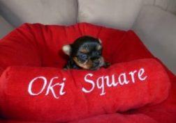 oki-square-chiots-yorkshire-13
