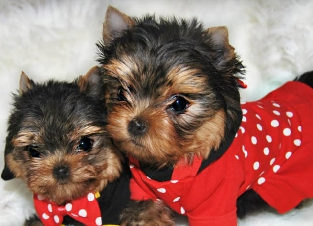 Oki Square Yorkshire Chiot Yorkshire Terrier Adoption Bebe Yorkshire Terrier Sevrage Oki Square Kennel